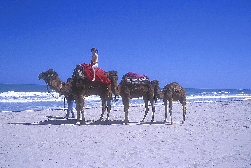 Camels on beach, Djerba, Tunisia. *** Local Caption ***