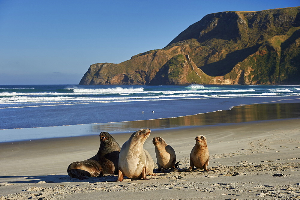 A group of juvenile New Zealand sea lions (Hooker's sea lions) at Allans Beach, Otago Peninsula, Otago, South Island, New Zealand, Pacific - 358-666
