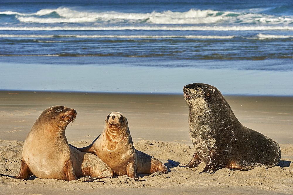 A male New Zealand or Hooker's sea lion guards juvenile females of the species on Allans Beach, Otago Peninsula