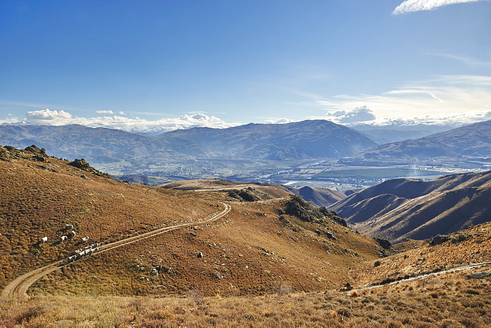 Sheep graze hillsides overlooking Cromwell with gold-mining excavations beyond, Otago, South Island, New Zealand, Pacific