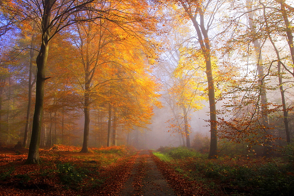 Autumnal forest near Kastel-Staadt, Rhineland-Palatinate, Germany, Europe