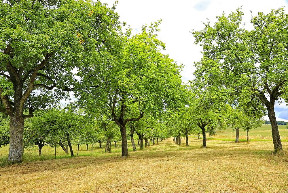 Fruit trees near Merzkirchen, Saargau, Rhineland-Palatinate, Germany