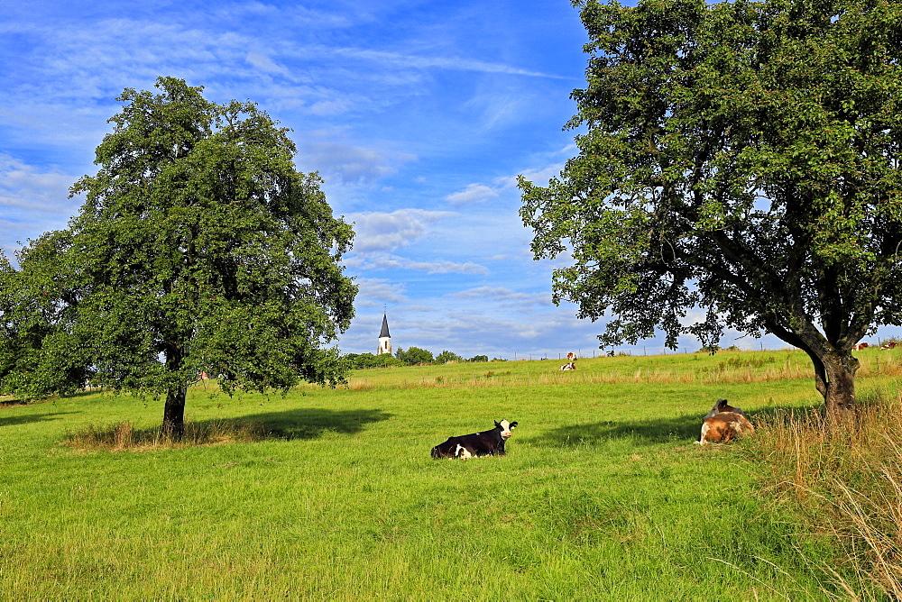 Cows and fruit trees near Merzkirchen, Saargau, Rhineland-Palatinate, Germany