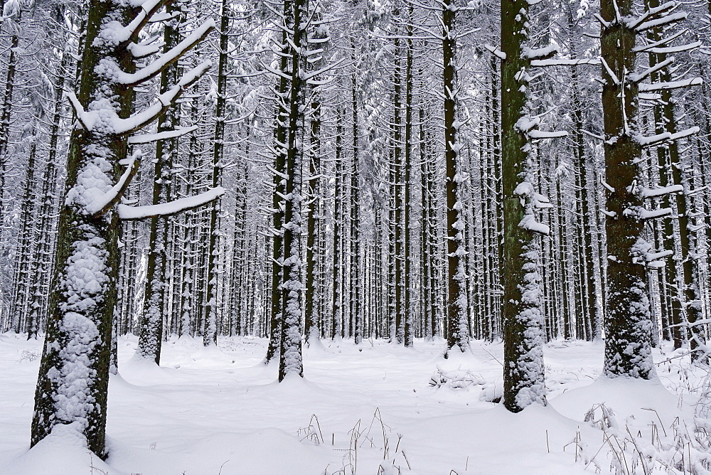 Forest in winter, Erbeskopf Mountain, 816m, Saar-Hunsrueck Nature Park, Rhineland-Palatinate, Germany, Europe