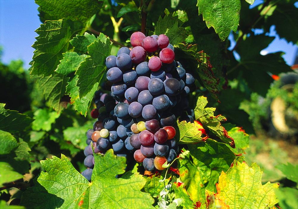 Grapevine, vineyard, France - 397-2163