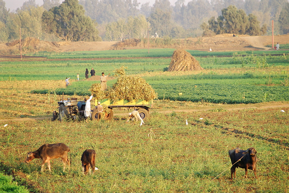 Farmers harvesting in fields near Tanta, Delta area, Egypt, North Africa, Africa