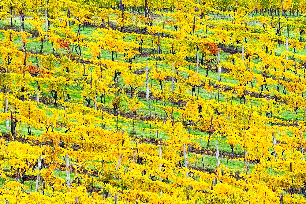Patterned rows of yellow vines in Autumn, Panzano in Chianti, Tuscany, Italy - 450-4460
