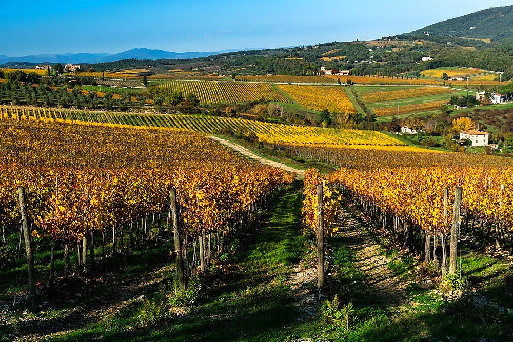 Vineyards in Autumnal colours against a dramatic sky with olive trees behind, Greve in Chianti, Tuscany, Italy - 450-4461