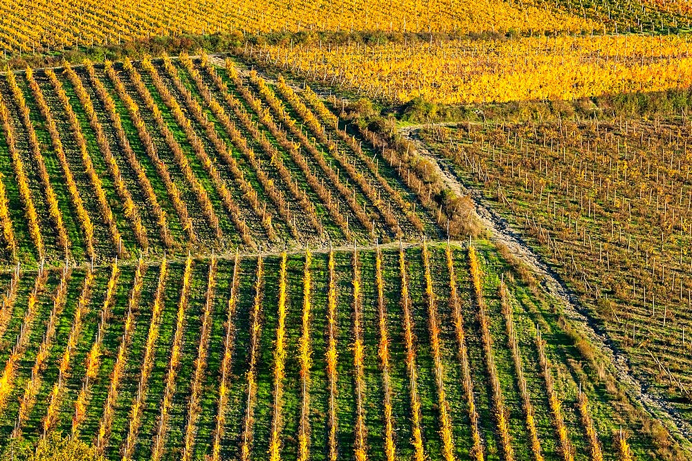 Patterned lines of vineyards in Autumnal colours in afternoon light, backed by olive groves, Giobbole, Tuscany, Italy - 450-4466