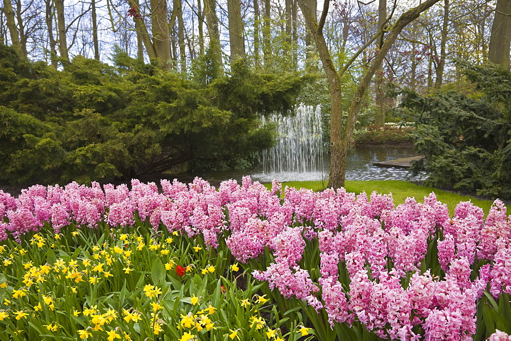 Pink hyacinths and daffodils, Keukenhof, park and gardens near Amsterdam, Netherlands, Europe - 462-2317