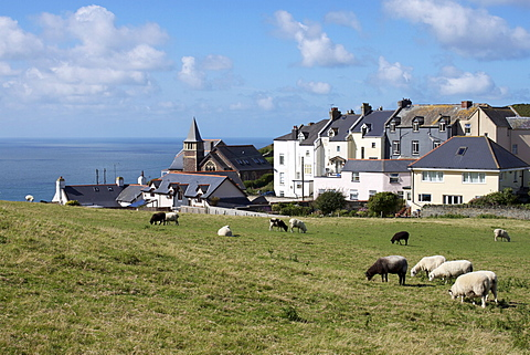 Grazing sheep, Mortehoe, Devon, England, United Kingdom, Europe - 478-4562