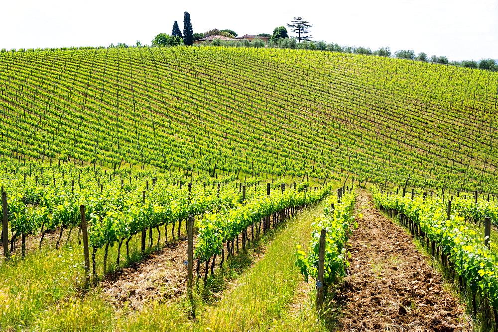 Vines, Chianti Region, Tuscany, Italy, Europe