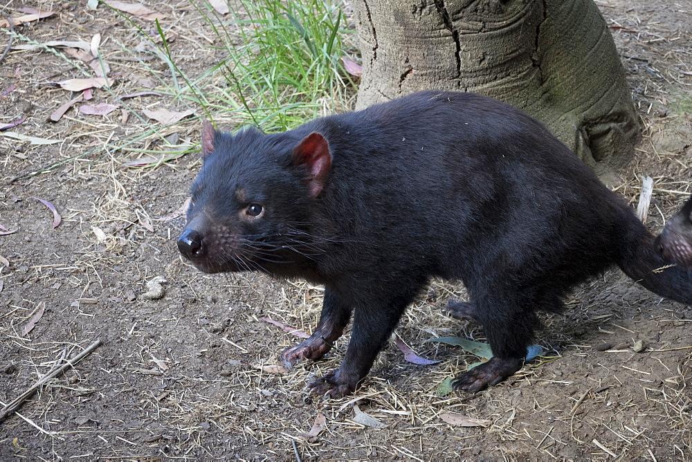 Tasmanian Devil, Tasmania, Australia, Pacific - 489-1746