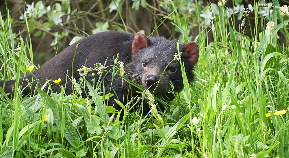 Tasmanian Devil in long grass, Tasmania, Australia