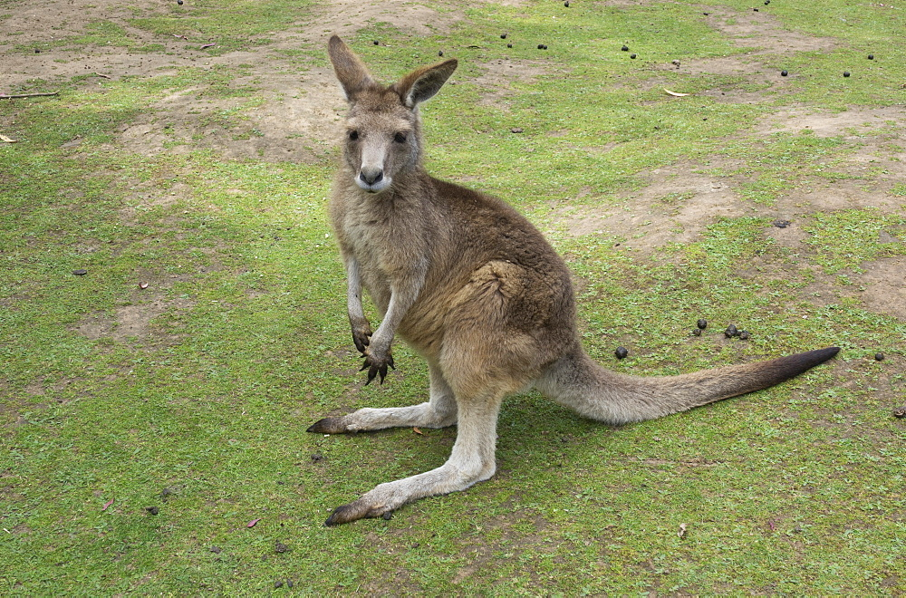 Tasmanian Forester Kangaroo, Tasmania, Australia, Pacific - 489-1750