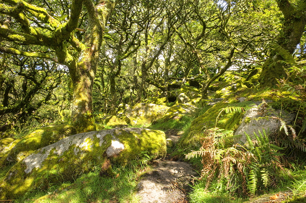 Wistman's Wood, ancient oak woodland, Dartmoor, Devon, England, United Kingdom, Europe - 492-3582
