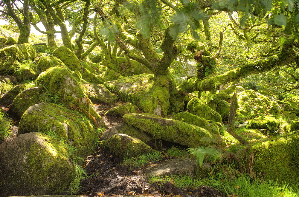 Wistman's Wood, ancient oak woodland, Dartmoor, Devon, England, United Kingdom, Europe - 492-3583
