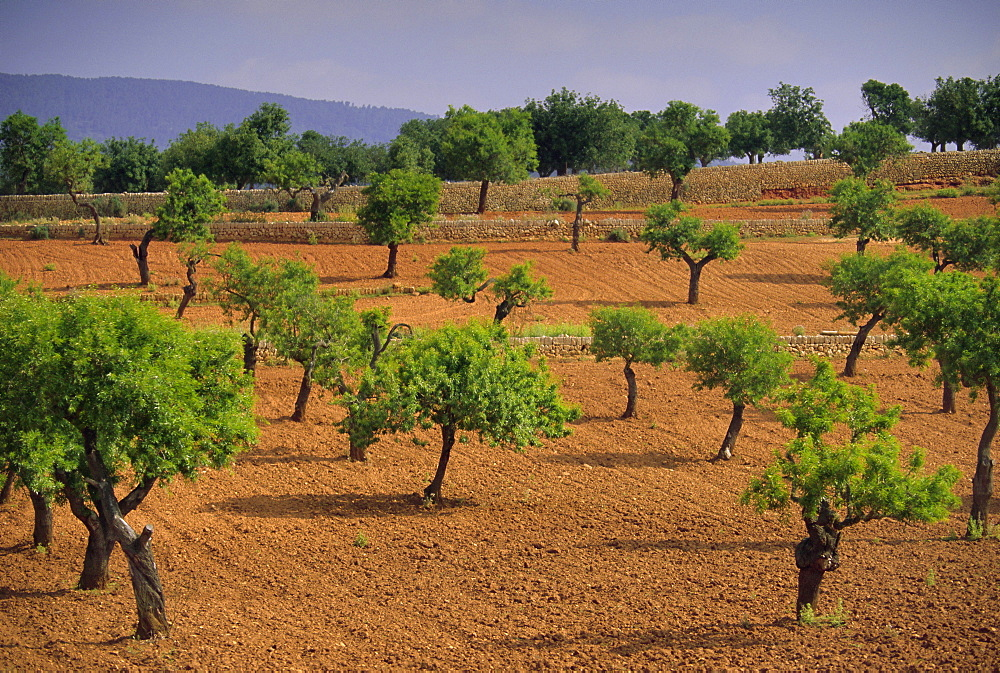 Landscape with olive trees, Majorca (Mallorca), Balearic Islands, Spain, Europe