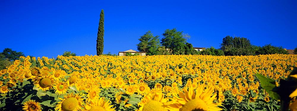 Sunflower field, Tuscany, Italy, Europe