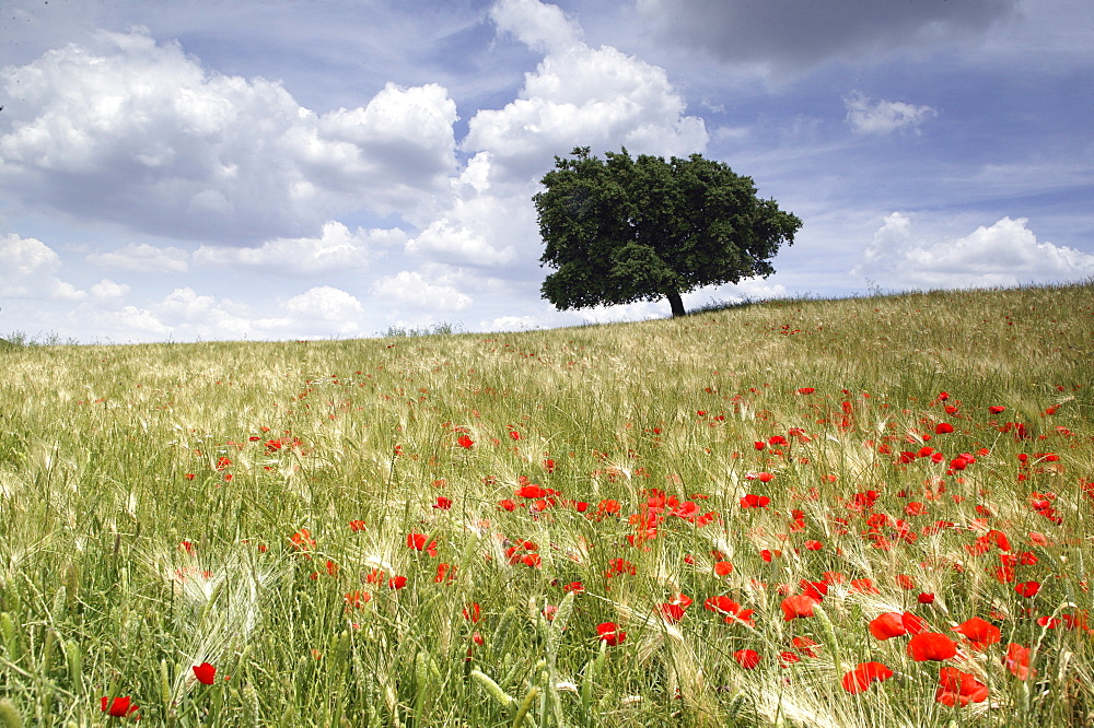Spring poppies and lone tree, Andalucia, Spain, Europe - 526-3618