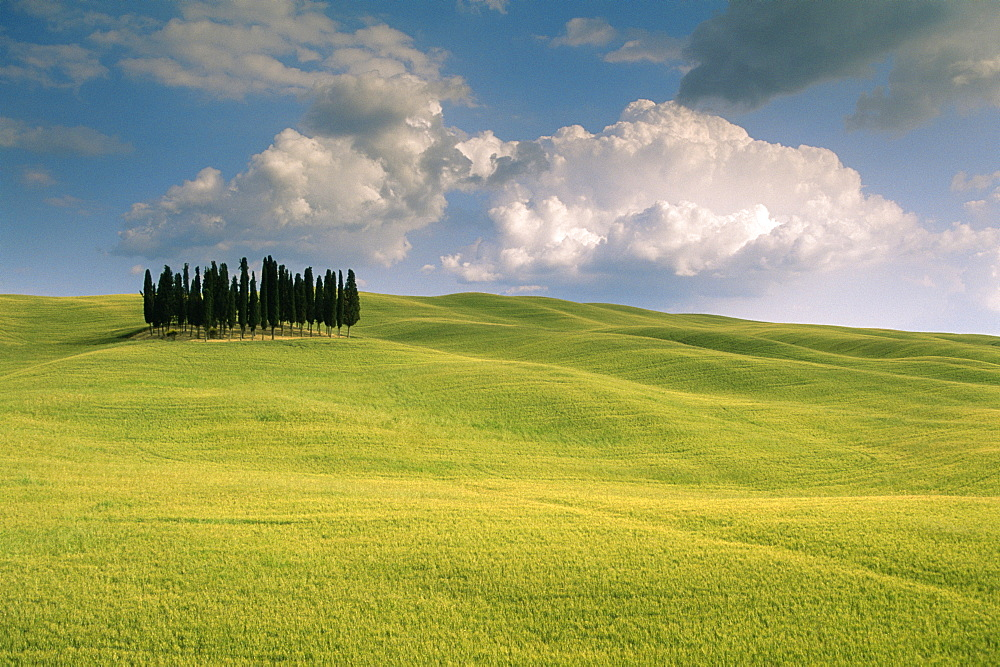 Group of cypress trees, Val d'Orcia, UNESCO World Heritage Site, Siena Province, Tuscany, Italy, Europe - 526-3819