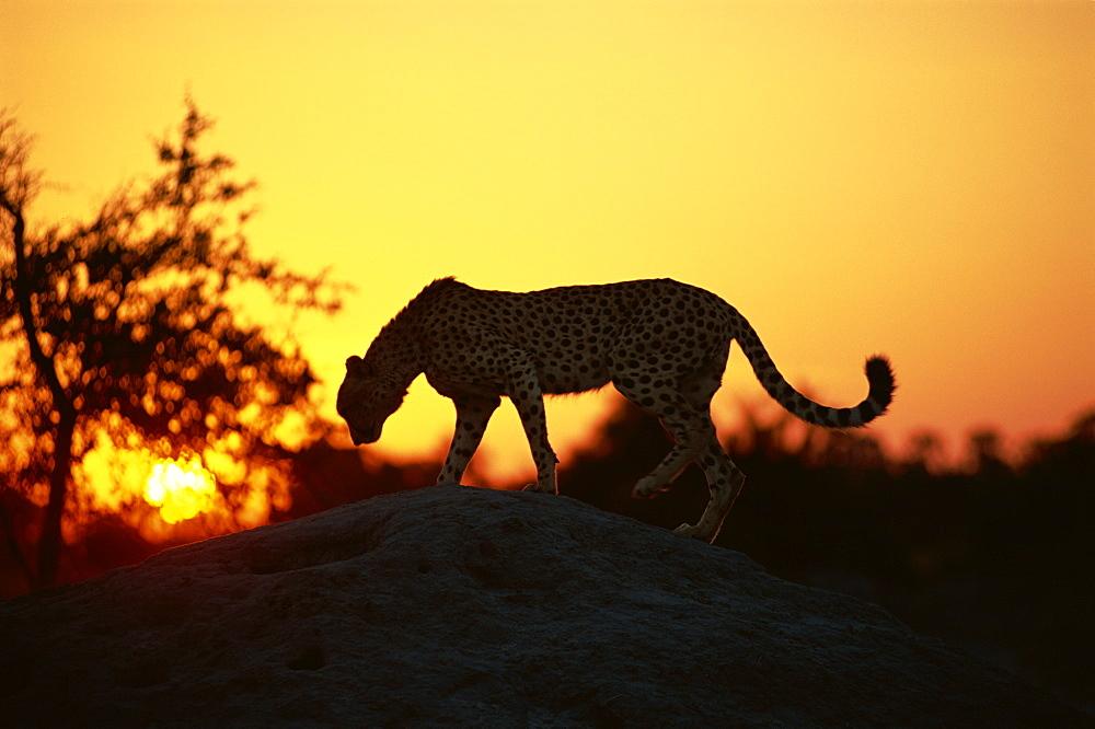 Cheetah (Acinonyx jubatus), Okavango Delta, Botswana, Africa - 607-114