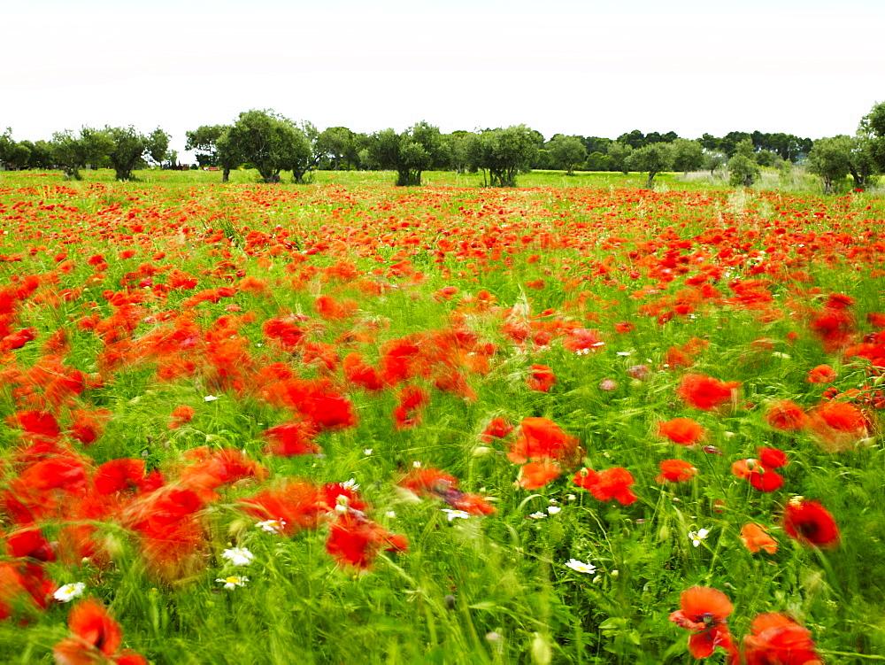 Poppy field, Figueres, Girona, Catalonia, Spain, Europe  - 627-1280