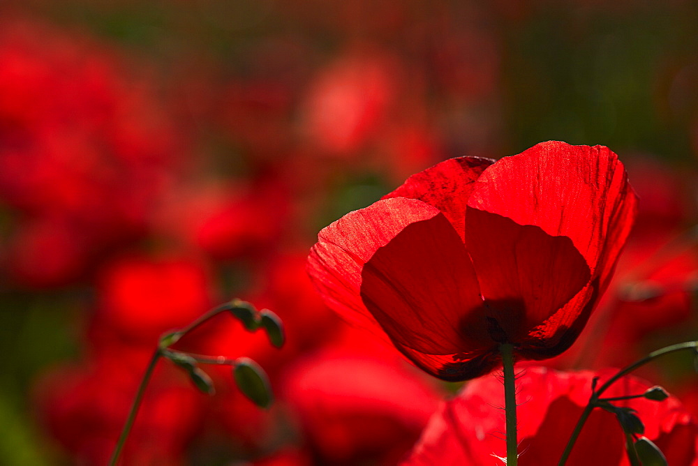 Poppy field in The Alberes, Languedoc-Roussillon, France, Europe  - 627-1284