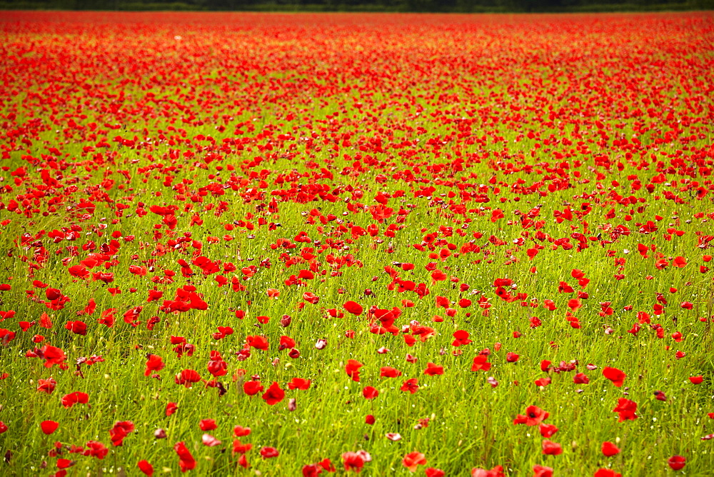 Poppy field, Newark, Nottinghamshire, England, United Kingdom, Europe  - 627-1287