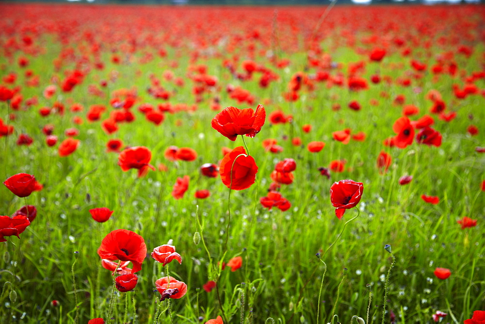 Poppy field, Newark, Nottinghamshire, England, United Kingdom, Europe  - 627-1288