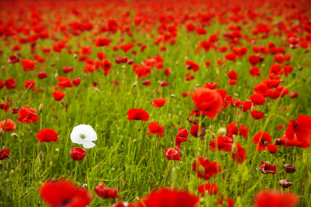 Poppy field, Newark, Nottinghamshire, England, United Kingdom, Europe  - 627-1289