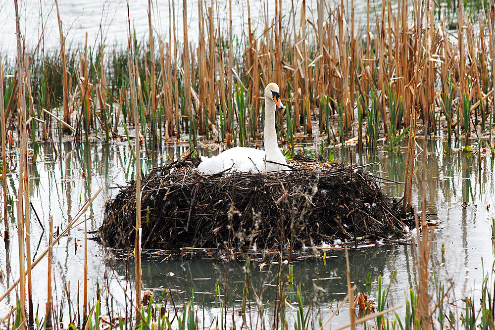 Swan on nest, United Kingdom, Europe - 64-1398