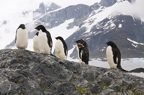 Adelie penguins moulting, Yalour Island, Antarctic Peninsula, Antarctica, Polar Regions