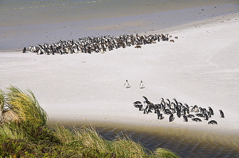 Magellanic penguins, Yorke Bay, Port Stanley, Falkland Islands, South America
