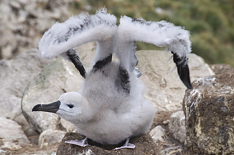 Black browed albatross chick, West Point Island, Falkland Islands, South America