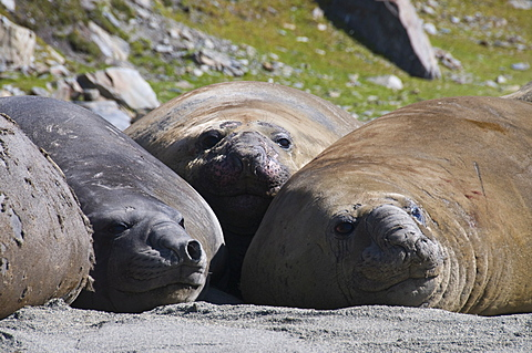 Elephant seals, Moltke Harbour, Royal Bay, South Georgia, South Atlantic