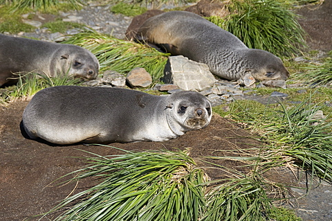 Fur seals, Moltke Harbour, Royal Bay, South Georgia, South Atlantic