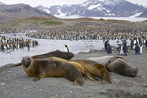 Young elephant seals and king penguins, St. Andrews Bay, South Georgia, South Atlantic