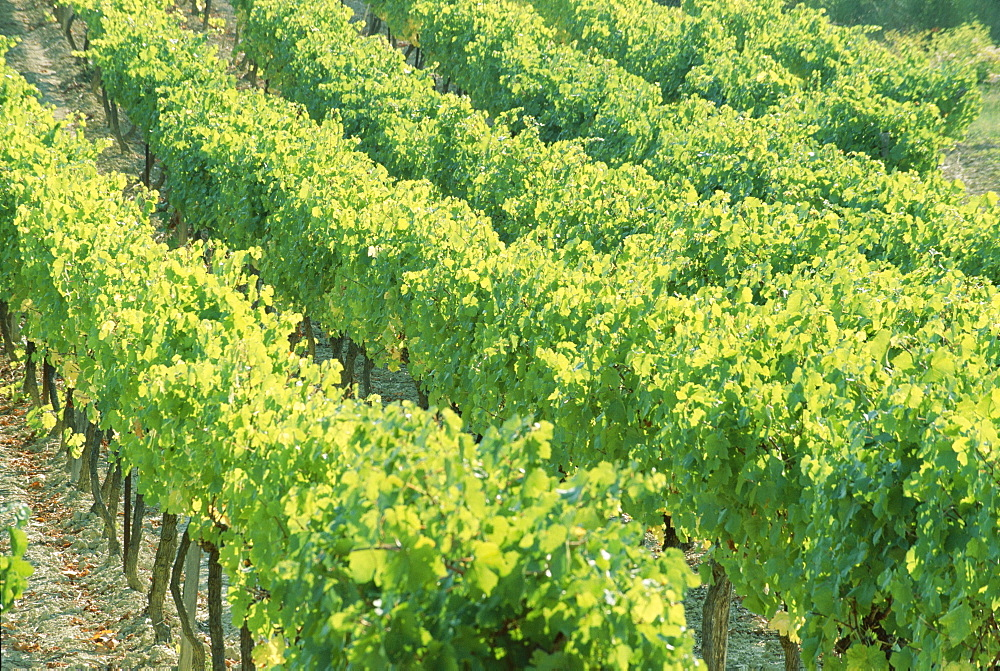 Row of vines in a vineyard, Provence, France, Europe