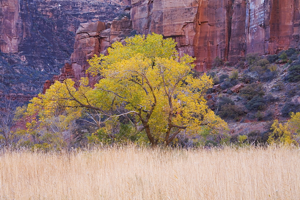 Cottonwood tree and reeds, Zion National Park in autumn, Utah, United States of America, North America