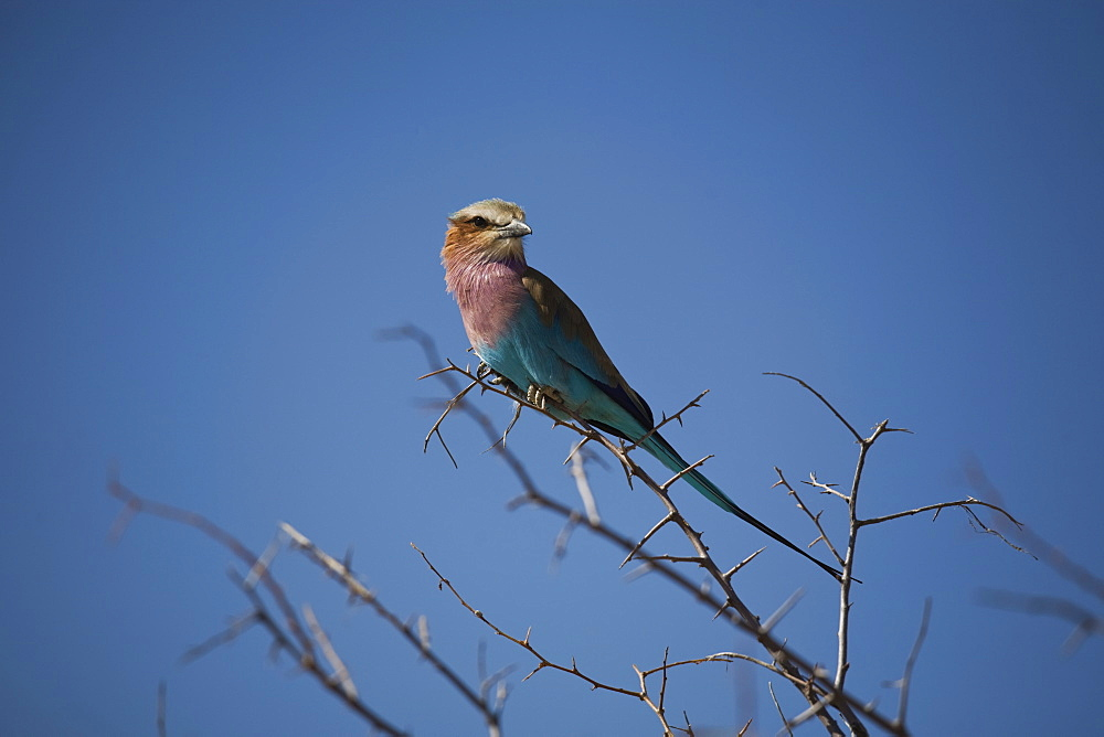 Lilac breasted roller (Coracias caudata) in tree, Etosha National Park, Namibia, Africa