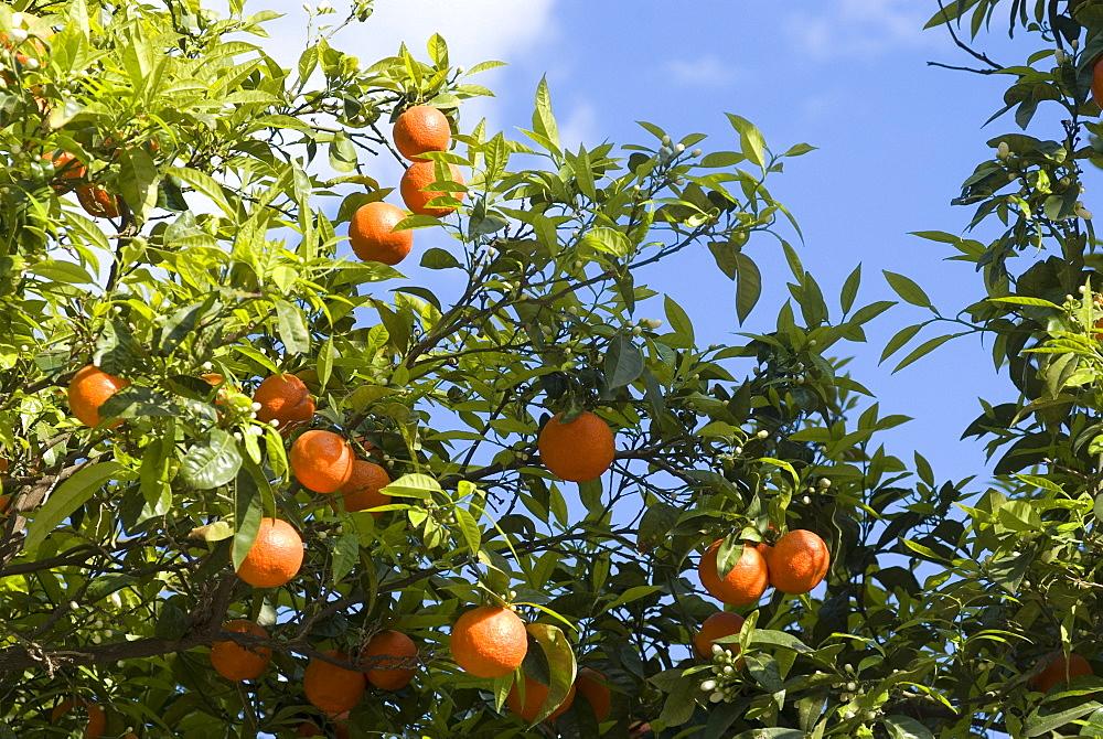 Trees laden with oranges, Sidi Bou Said, Tunisia, North Africa, Africa