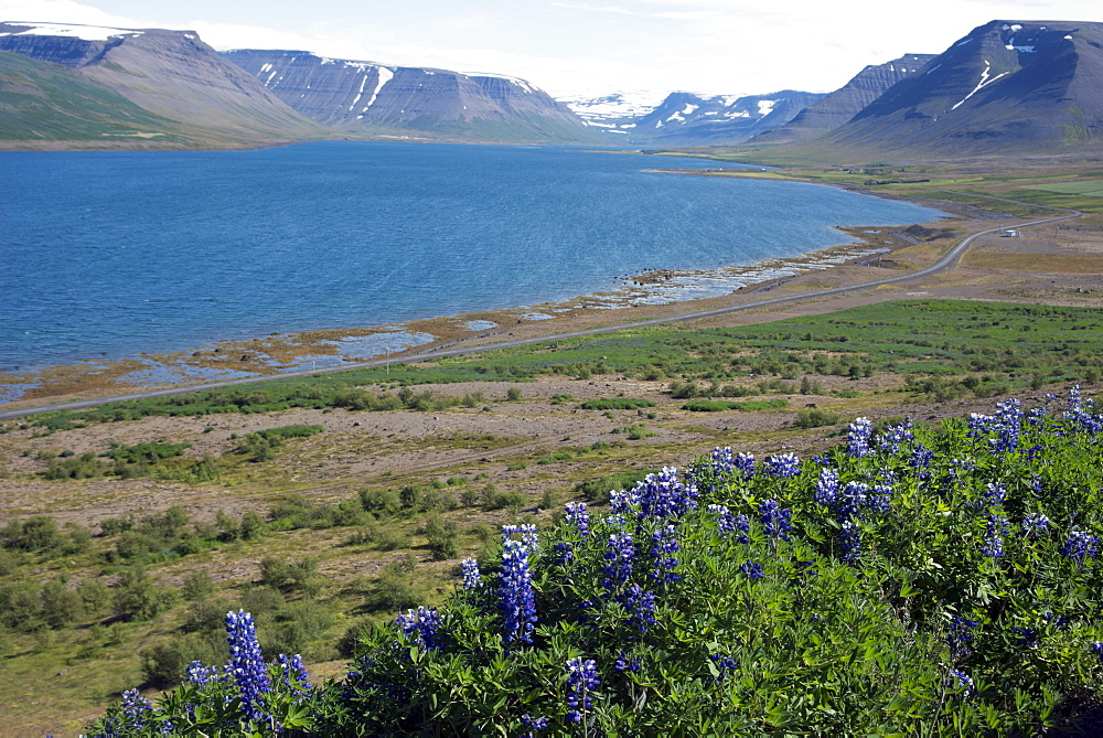 Wildflowers in the West Fjords, Iceland, Polar Regions - 685-2631