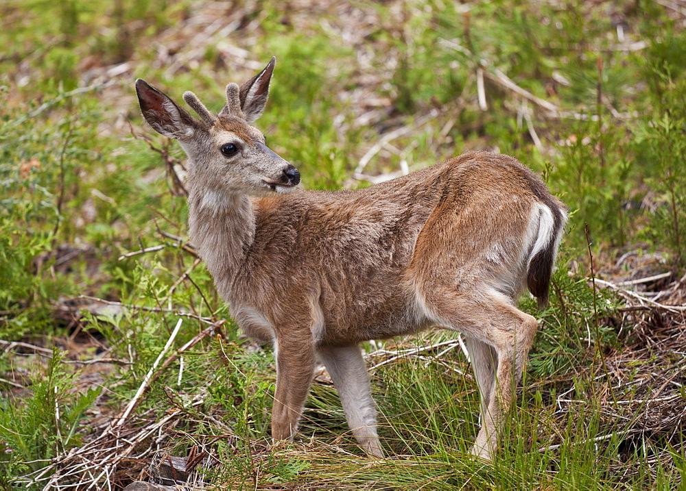 Mule deer (Odocoileus hemionus), Mariposa Grove, Southern Yosemite, Yosemite National Park, Sierra Nevada, California, United States of America, North America