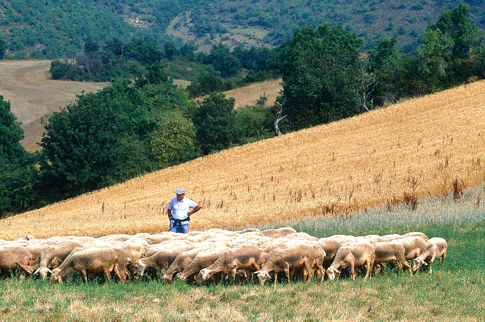 Image result for Aveyron, france, sheep grazing, photos