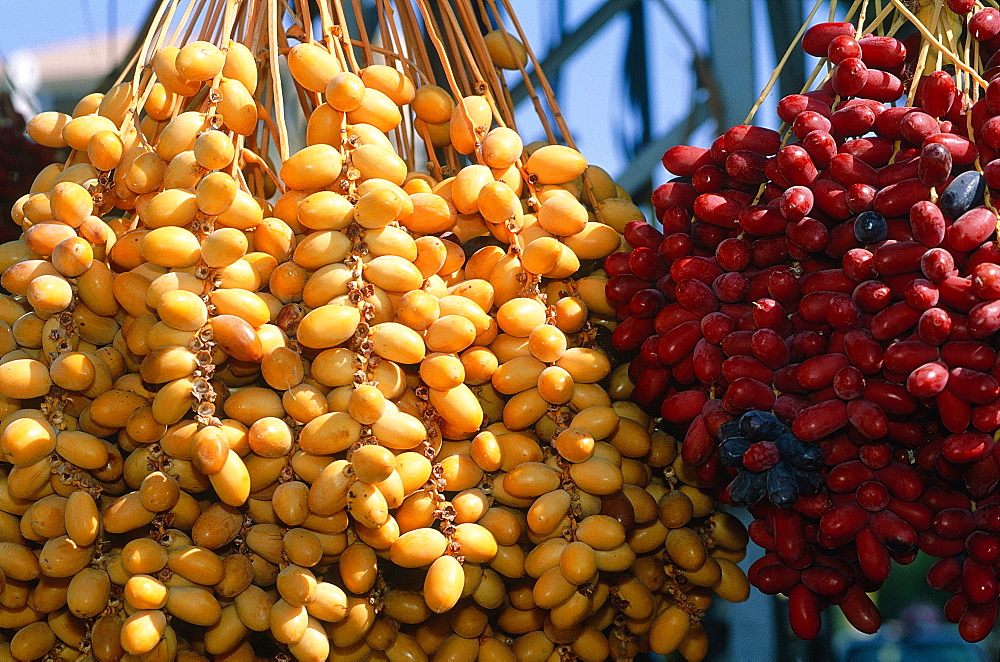 Syria, Palmyra Oasis, Freshly Harvested Dates Of Different Species In October