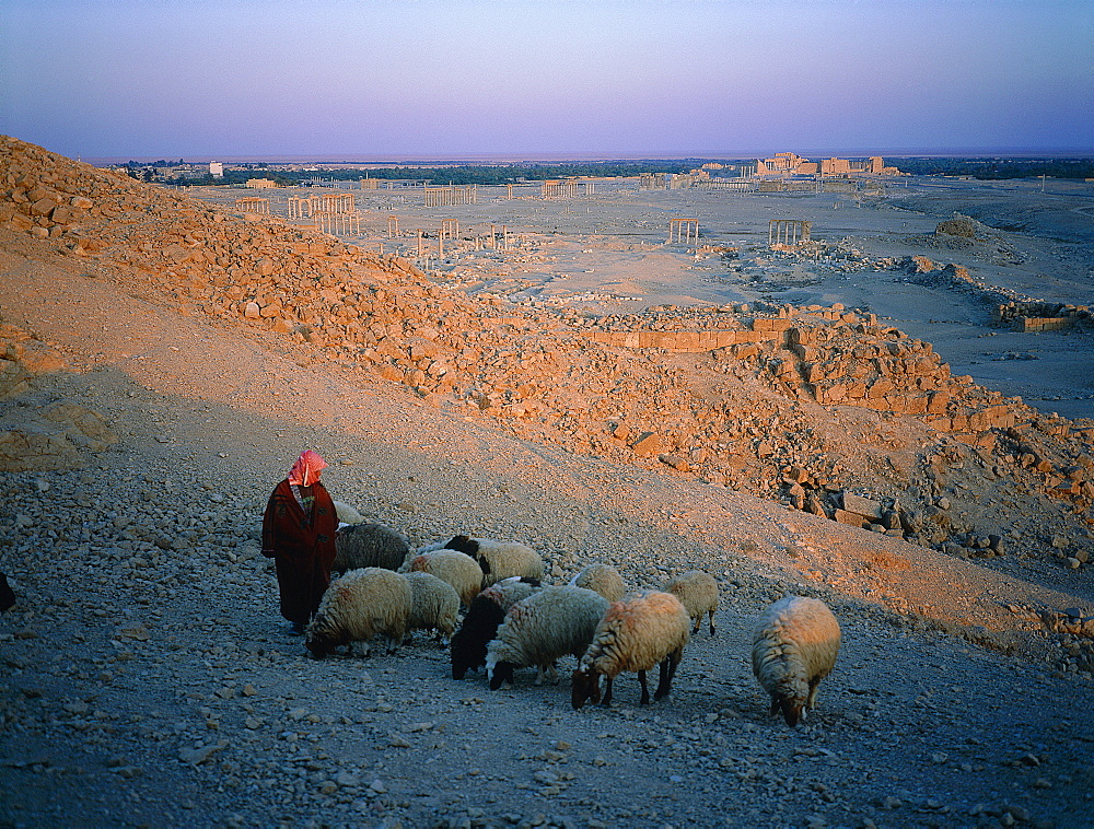 Syria, Palmyra Oasis, On A Hill A Young Bedouin Shepherd Take His Sheep For Grazing Rare Grass Between Stones