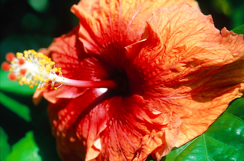 French Polynesia, Tropical Flowers, Red Hibiscus