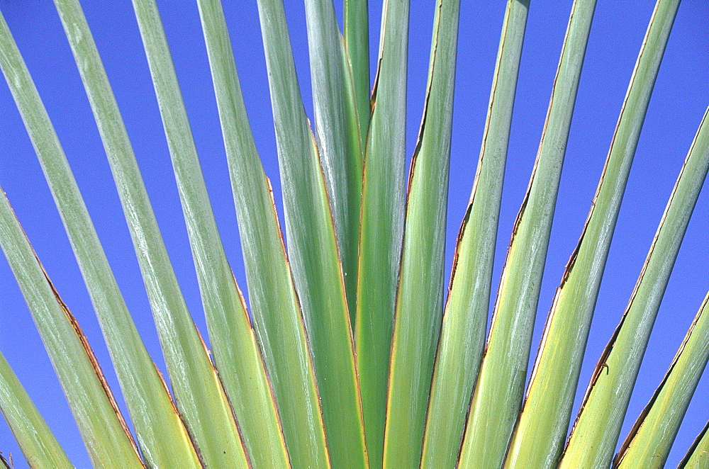 French West Indies, Guadeloupe, Close Up On A Palm