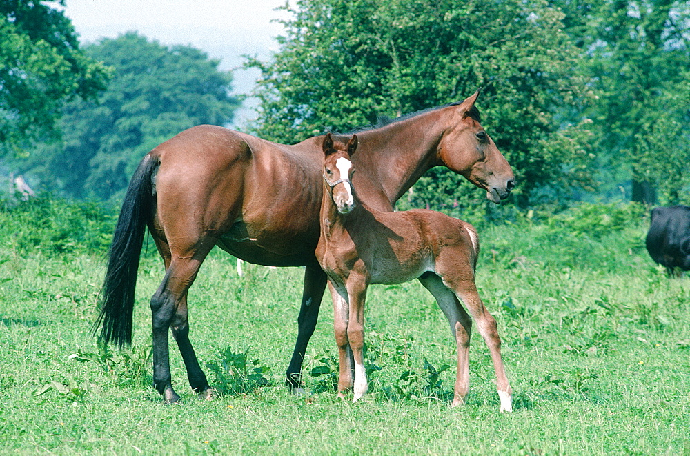 France, Normandy, Mare And Colt In A Field